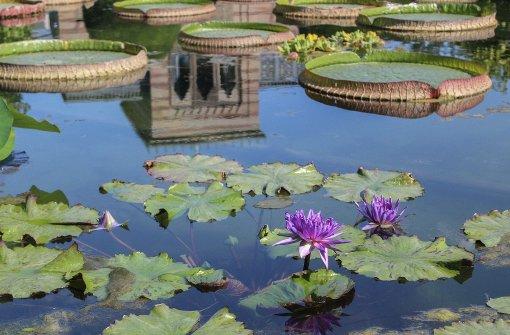 Blütenmeer im Seerosenteich