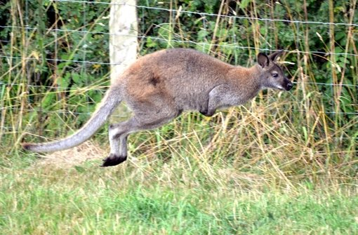 Ausgebüxtes Känguru hüpft durchs Sauerland