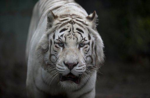 Tiger zerfleischt Frau