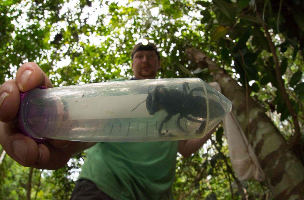 Sichtung in Indonesien: Die größte Biene der Welt lebt doch noch