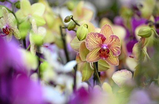 der gr ne daumen expertentipp verbl hte orchideen stutzen web wissen stuttgarter nachrichten. Black Bedroom Furniture Sets. Home Design Ideas