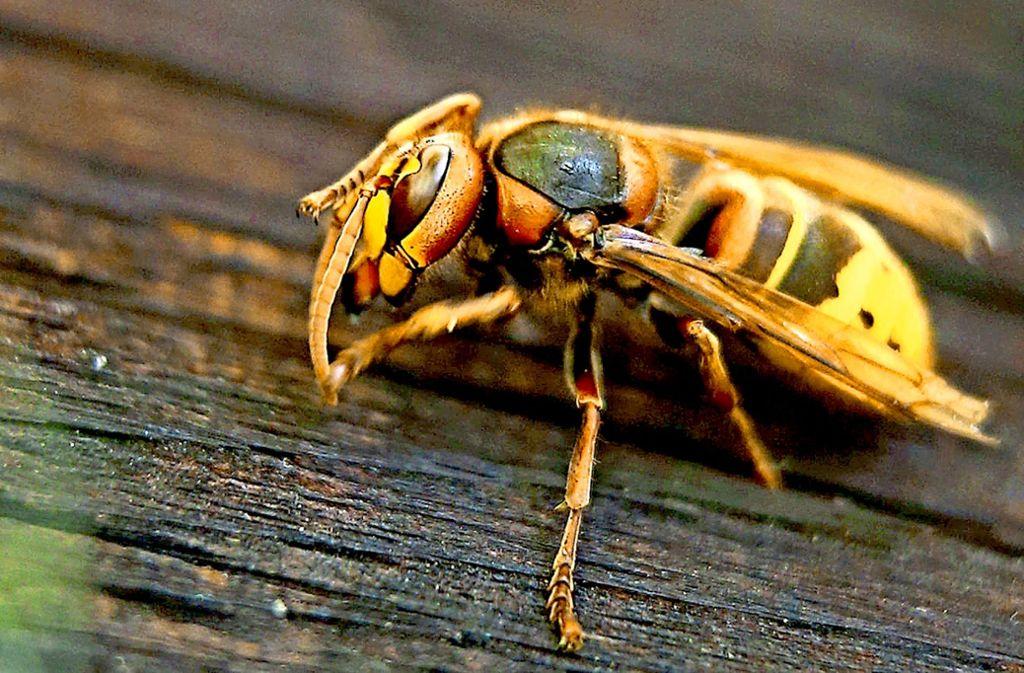 wespen und bienen wer diese insekten t tet kann. Black Bedroom Furniture Sets. Home Design Ideas
