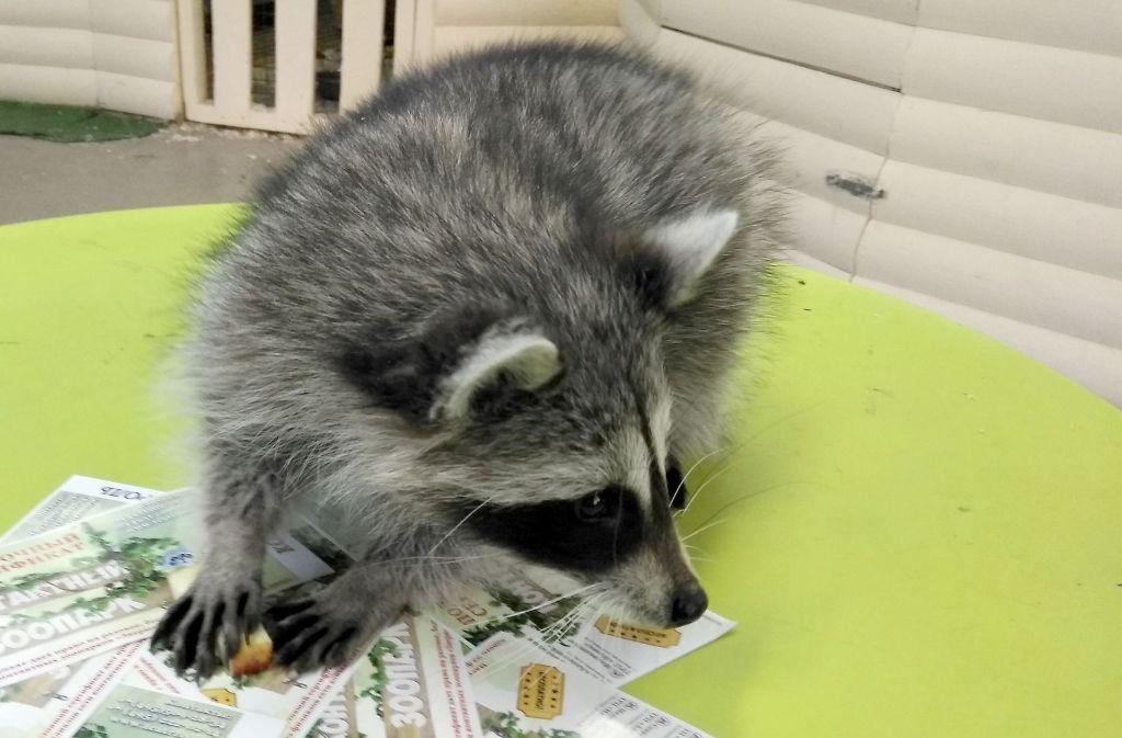 8577683207de8e Der russische Waschbär Thomas lebt in einem Streichelzoo in Moskau. Foto   Zoo Moskau